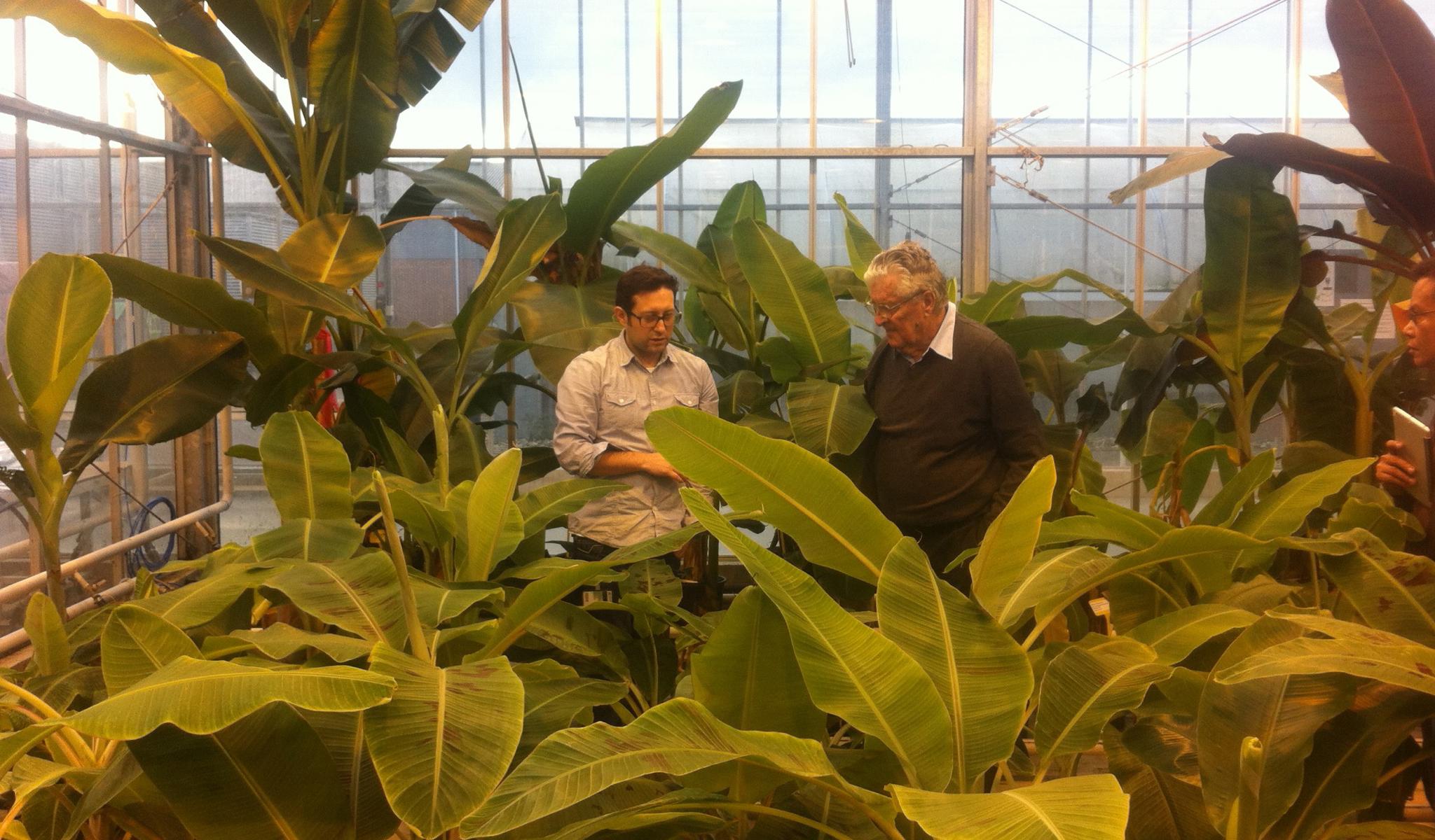 FusariumWilt-greenhouse